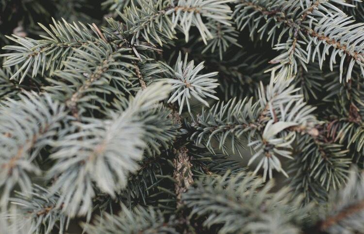 Pine tree needles
