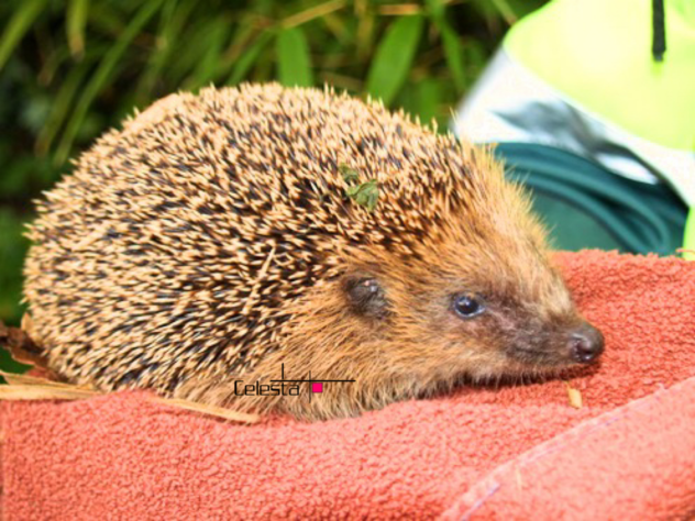Hedgehog posted on Twitter